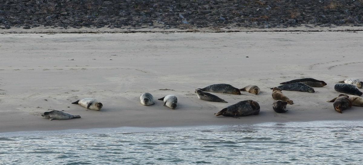 Tweede Maasvlakte zeehonden